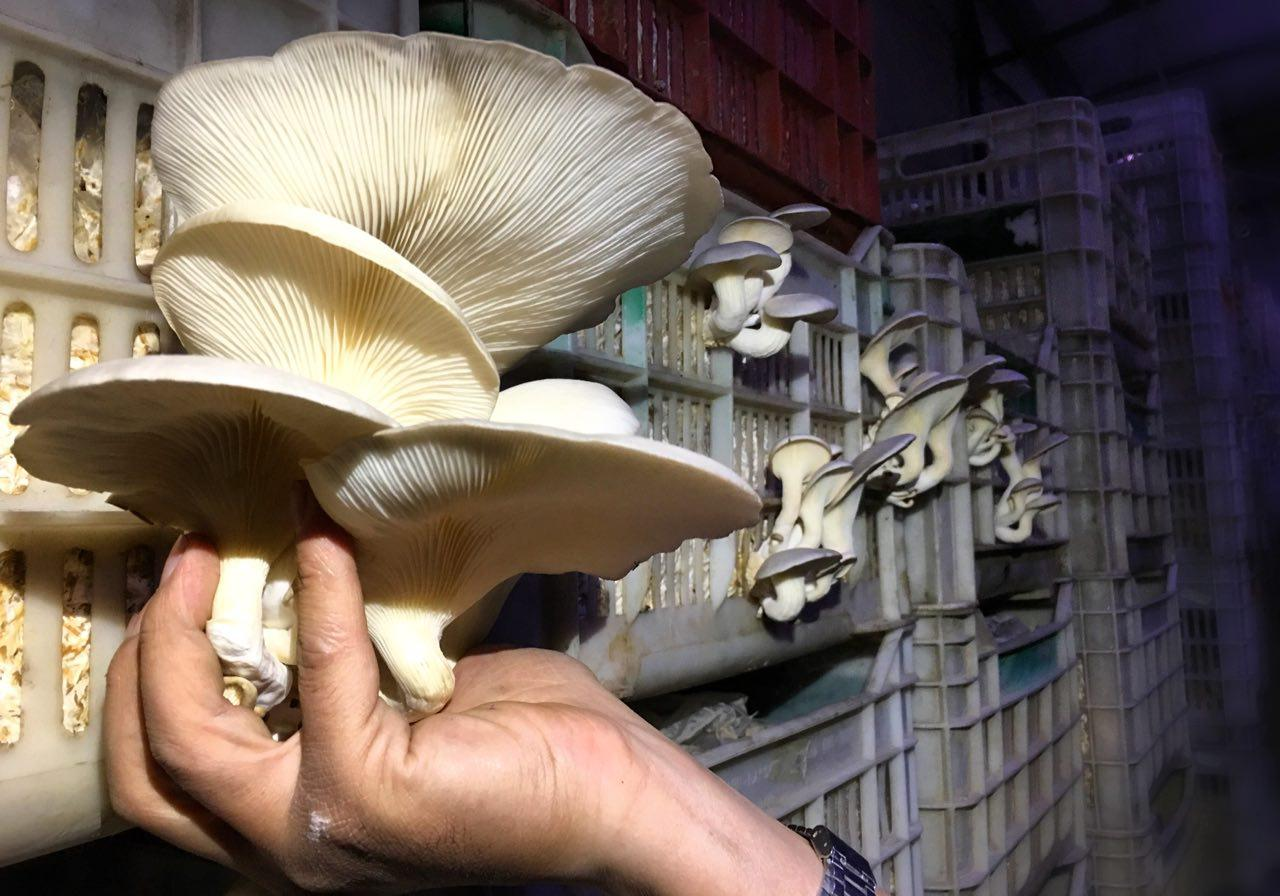 Mushrooms grown in an underground farm